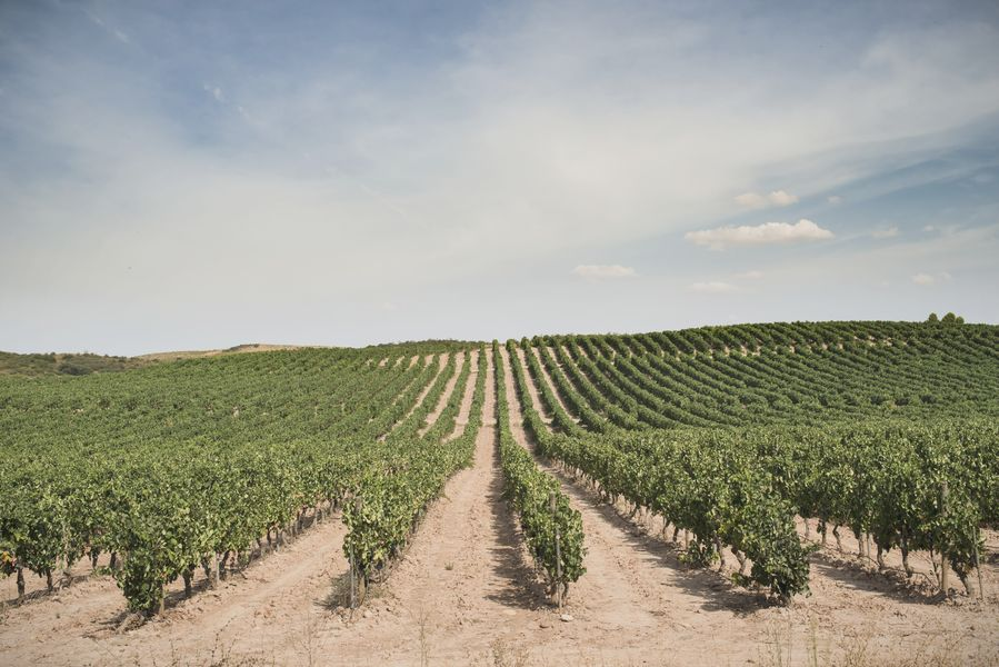 que es la vid en vinos